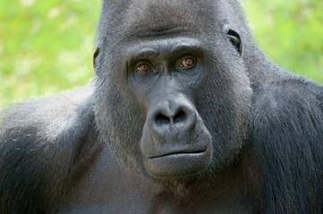 Gorillablick