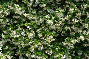 Parete di fiori gelsomini bianchi con fondo di foglie verdi