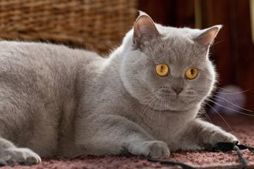 British Kurzhaar, Katze, grau, Rassekatze, Haustier, BK