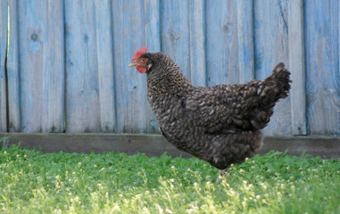 Background. A black hen on a grass.
