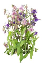 Gentle garden violet pink flower