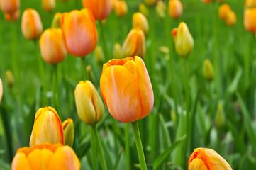 Orange beautiful tulips