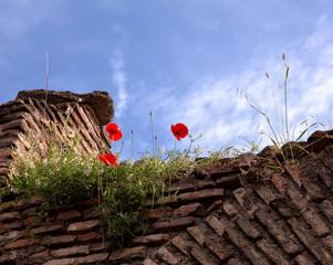 Ruins of an ancient brick wall and poppies.