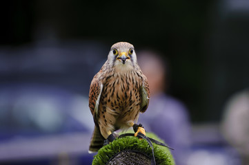 Fotoväggar - Male kestrel bird of prey raptor during falconry display