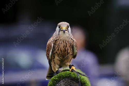 Fototapete Male kestrel bird of prey raptor during falconry display