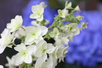 白と青の紫陽花