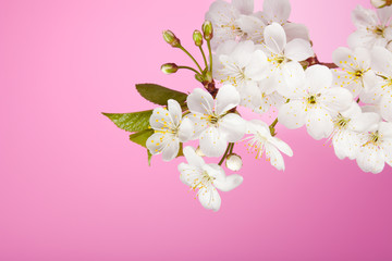 cherry tree flowers on pink background