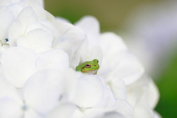 カエルと紫陽花 Frog & Hydrangea