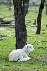 Lamb resting under tree in paddock