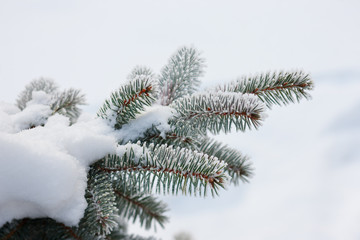 Spruce in the snow on a frosty day