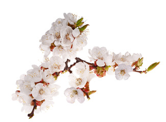 lot of cherry-tree flowers on branch