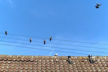 Tauben auf Stromleitung