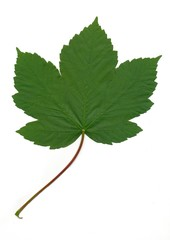 leaf of sycamore maple tree