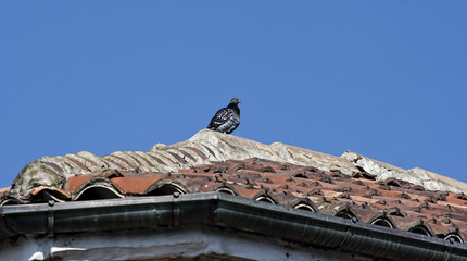 single pigeon on a roof