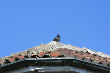 Pigeon on the roof top