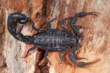black scorpion ready to strike