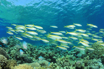 Shoal of Fish (Yellowfin Goatfish) on Tropical Coral Reef