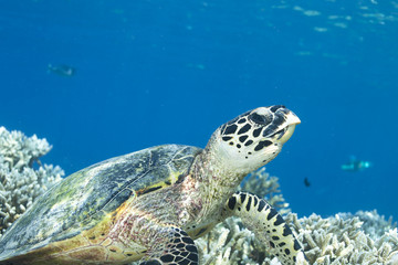 Photo sur Plexiglas Tortue Hawksbill Turtle Eretmochelys Imbricata
