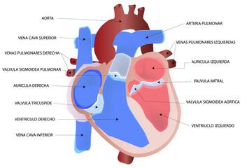 Dibujo del corazón humano