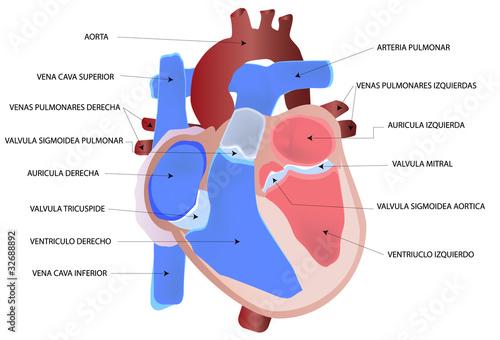Dibujo del corazón humano\