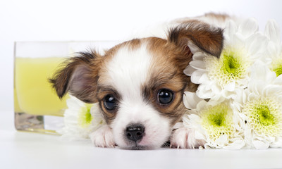 Chihuahua puppy with chrysanthemums and yellow ​​candle