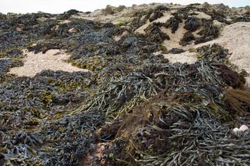 Braunalge (Brown algae fucus)