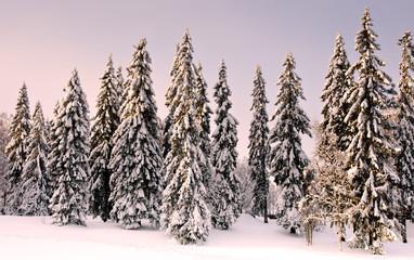 Landscape, snowy forest in Scandinavia
