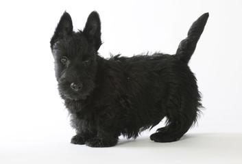 chiot scottish terrier noir debout de profil