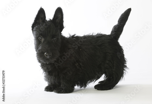 chiot scottish terrier noir debout de profil photo libre de droits sur la banque d 39 images. Black Bedroom Furniture Sets. Home Design Ideas