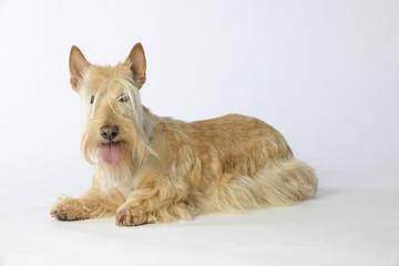 scottish terrier froment allongé
