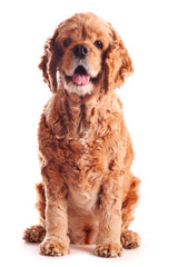 Dog american cocker spaniel, isolated