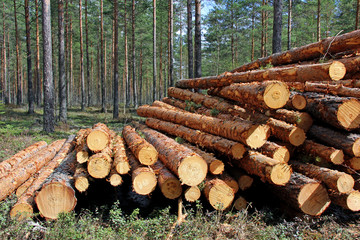 Cut and Stacked Pine Timber in Forest