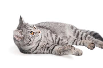 Isolated grey cat