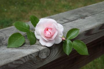 Rose et Amour