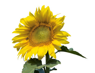 Ripe bright sunflower isolated on a white background