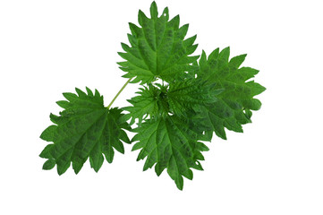 Nettle leaves composition. Isolated on white background
