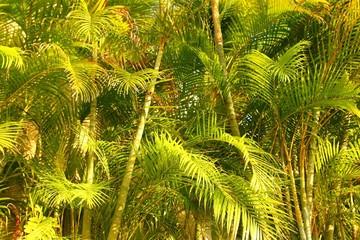Fotobehang Chrysalidocarpus lutescens palm trees jungle