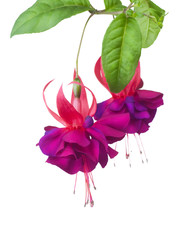 Fuchsia flowers over white