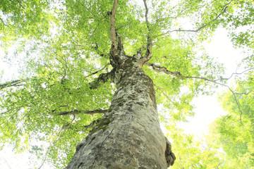 白神山地のマザーツリー