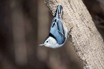 white breasted nuthatch stand up side down on a tree branch