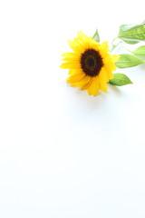 Sun flower on white background for summer image