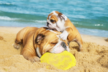 English Bulldogs playing on the beach