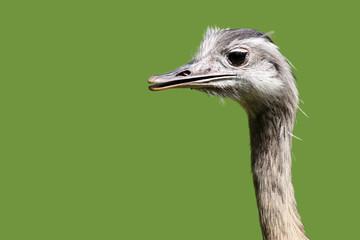 Emu freigestellt - grün