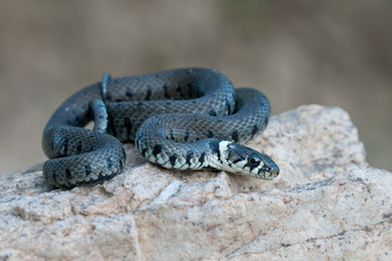 young grass snake
