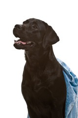 Labrador, schwarz, Rassehund, Studioaufnahme, freigestellt
