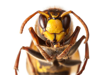 Hornet en face