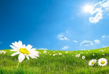 Photo sur Plexiglas Marguerites daisy