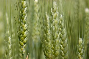 noch grünes Getreide im Detail