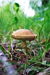 Mushroom in glade