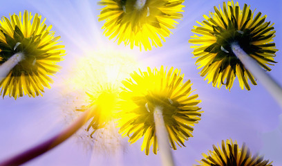 dandelions against the sunny